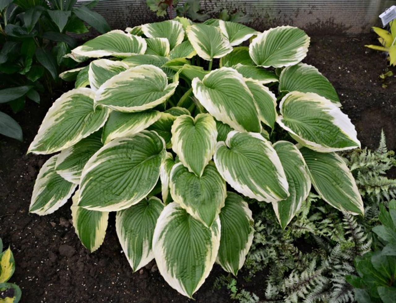 Bridal Falls Hosta Shade Perennial Giant Hosta Plant