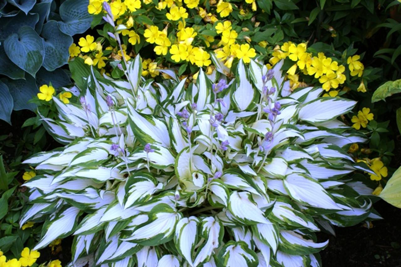 White Christmas Hosta Shade Perennial Medium Hosta Plant