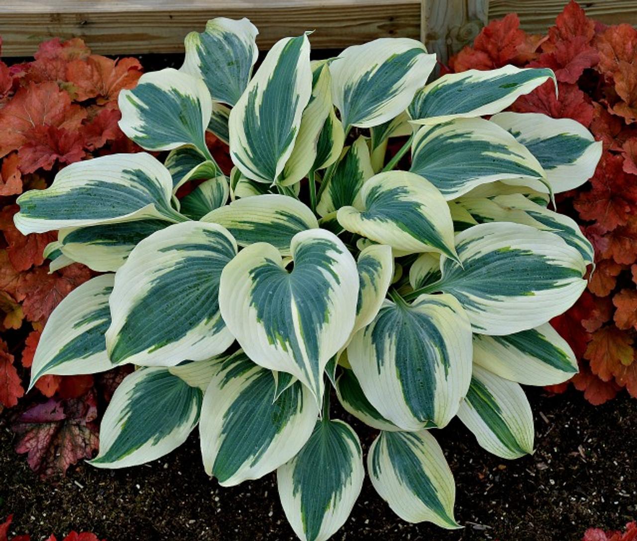 Blue Ivory Hosta Shade Perennial Slug Resistant Hosta Plant