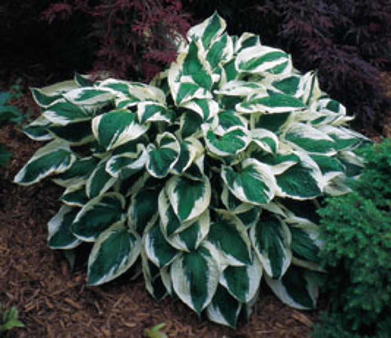 Patriot Hosta Shade Perennial Large Hosta Plant