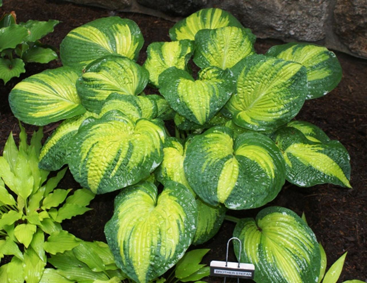 Brother Stefan Hosta Shade Perennial Slug Resistant Hosta Plant