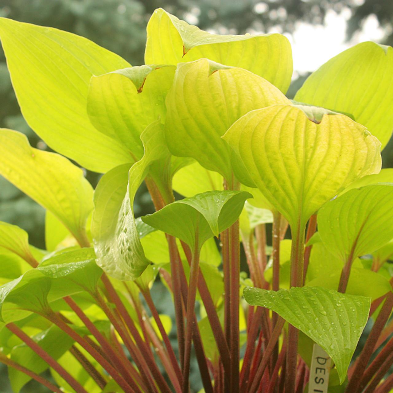 Designer Genes Hosta Shade Perennial Small Hosta Plant