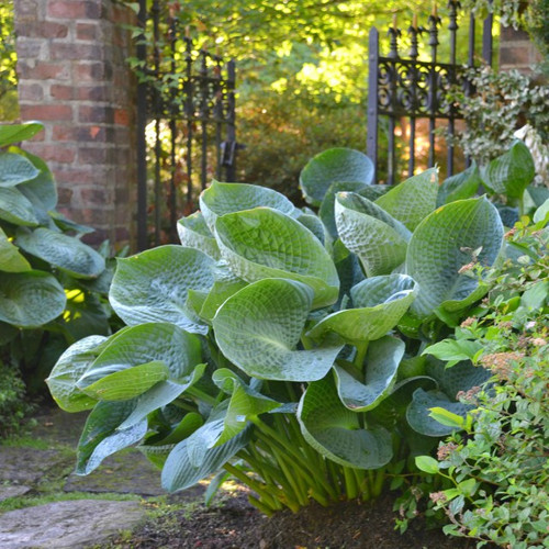 Buy Large Hosta Plants 23 To 29 Inches Tall