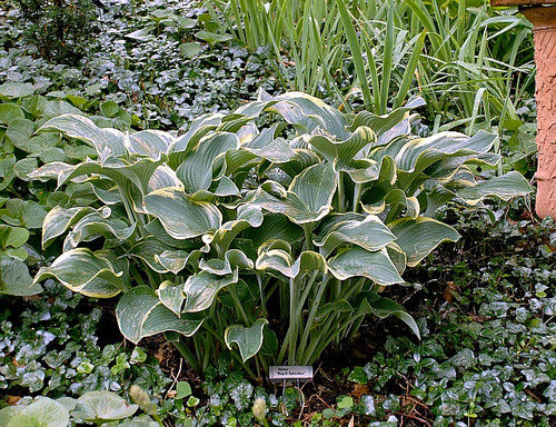 Regal Splendor Hosta Shade Perennial Giant Hosta Plant