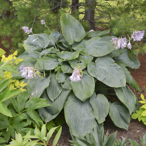 Empress Wu Pp20774 Hosta 45 Inch Container