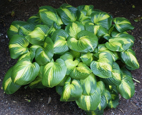 Buy Hostas For A Sunny Location Sun Tolerant Hosta Plants
