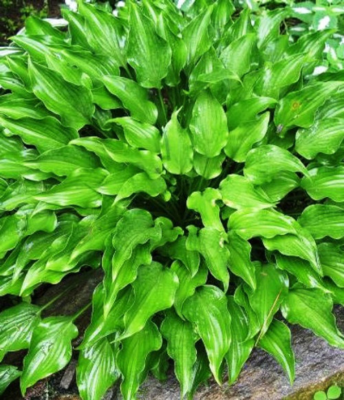 Purple Dwarf Hosta Shade Perennial Medium Hosta Plant