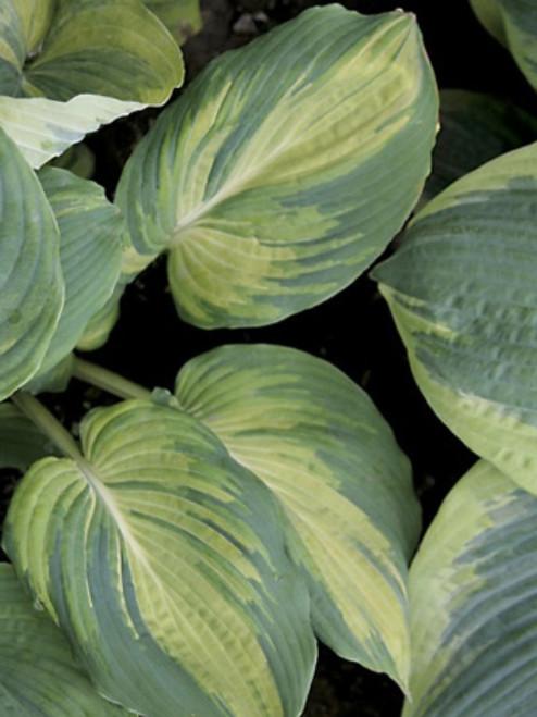 The Queen Hosta Shade Perennial Large Hosta Plant