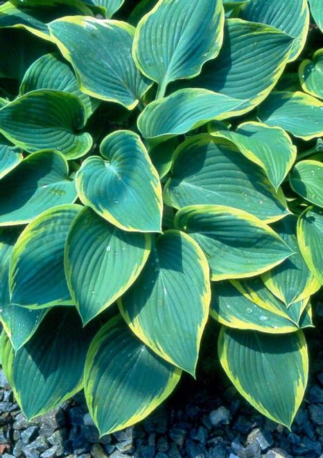 Frost Giant Hosta Giant Elegant Hosta Blue Green Hosta Plant