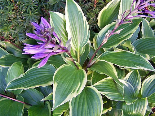 Buy Red Petiole Hostas Unusual Hosta Plants Have Red Stems