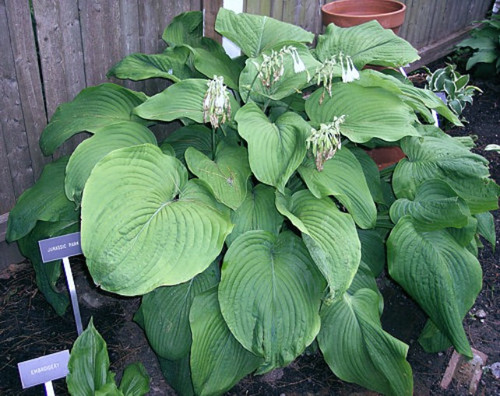 Jurassic Park Hosta 45 Inch Container New For 2019 New