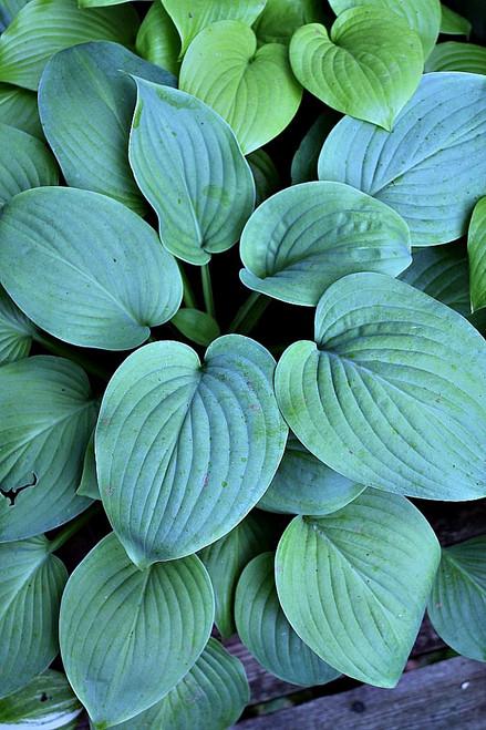 Buy Fragrant Hostas Add Fragrance To Your Hosta Garden