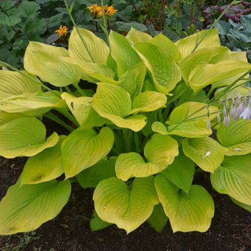 Buy Hostas For A Sunny Location Sun Tolerant Hosta Plants
