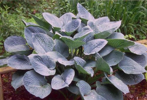 Blue Hawaii Hosta Shade Perennial Giant Blue Hosta Plant
