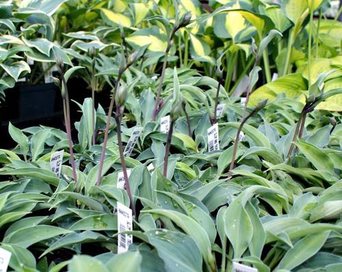 Slim And Trim Hosta Shade Perennial Small Blue Hosta Plant