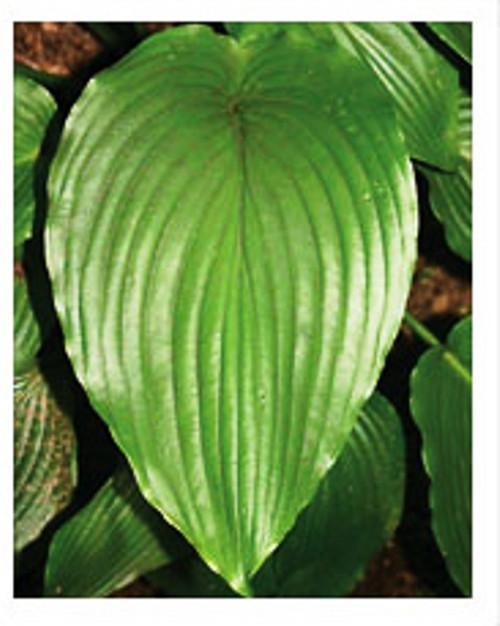 Green Velveteen Hosta Shade Perennial Large Green Hosta Plant