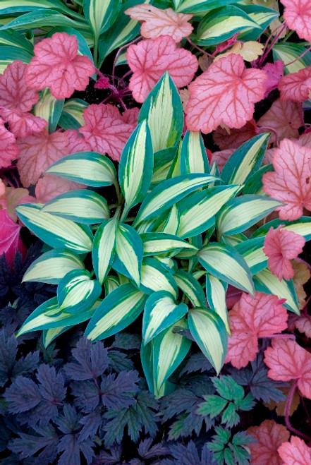 Little Treasure Hosta Shade Perennial Miniature Hosta Plant