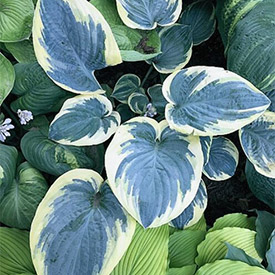 Eclipse of the Heart Hosta