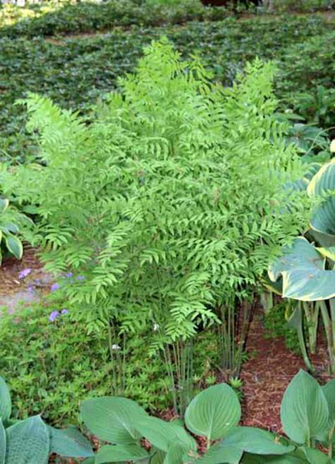 American Royal Fern Shade Perennial Large Fern Plant