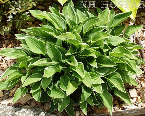 Allan P Mcconnell Hosta Shade Perennial Sun Tolerant Hosta Plant