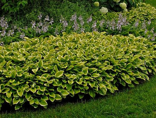 EMERALD TIARA HOSTA gold and green foliage