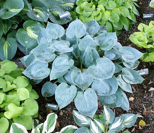 Camelot Hosta Shade Perennial Slug Resistant Blue Hosta