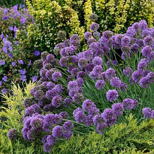 Allium Medusa Pp28701 45 Inch Container New Hampshire Hostas