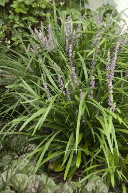 Liriope Big Blue Shade Perennial Hosta Companion Plant