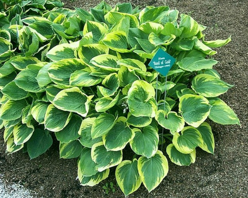 Band Of Gold Hosta Shade Perennial Large Hosta Plant