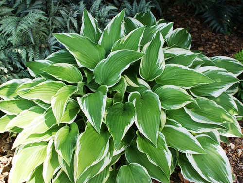 Antioch Hosta Shade Perennial Large Hosta Plant