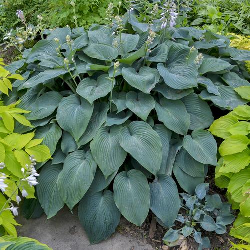 Blue Angel Hosta Shade Perennial Blue Hosta Plant