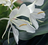 WHITE GINGER LILY - Concentrated Aromatherapy Natural Perfume - 4 ml
