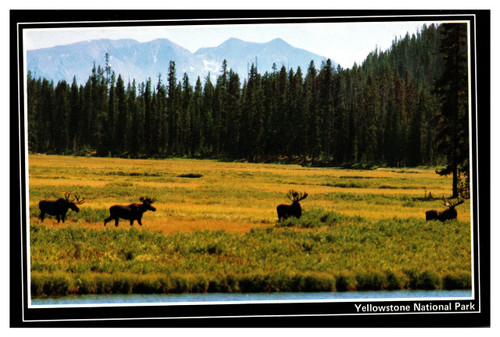 Bull Moose Yellowstone