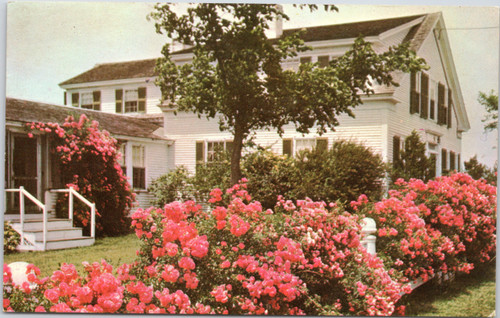 Roses in house garden on cape cod