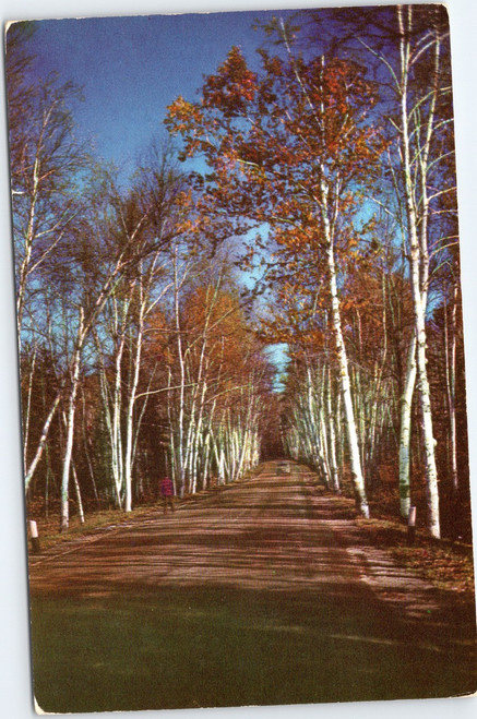 Birch Tree lined avenue in Vermont