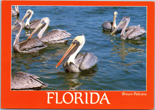 Florida brown pelicans