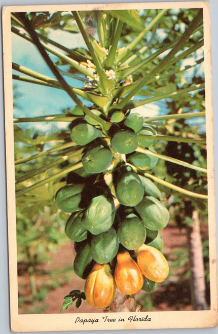 Papaya Tree in Florida -