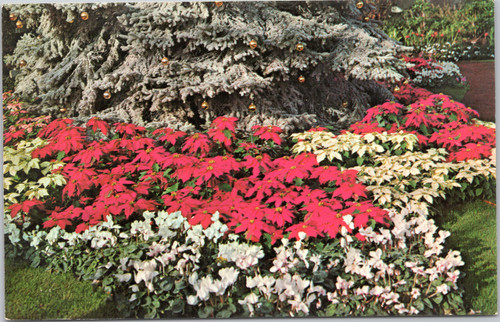 Poinsettias and Cyclamen