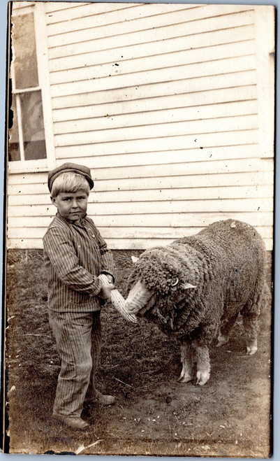 Boy feeding corn to sheep