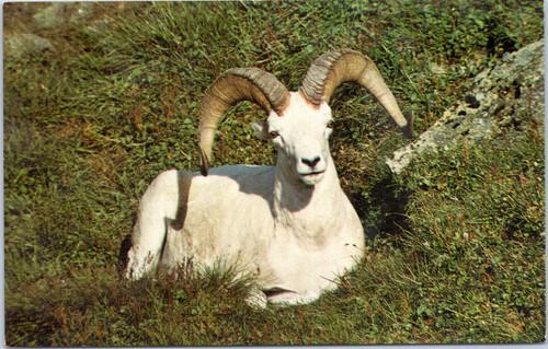Dall sheep - ram lying in grass
