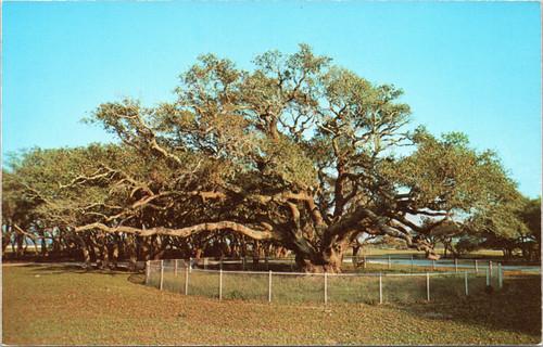Big Tree of Lamar