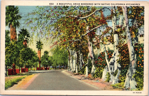 Scenic Drive bordered by California Sycamores