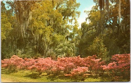 Florida - Azaleas and Oaks