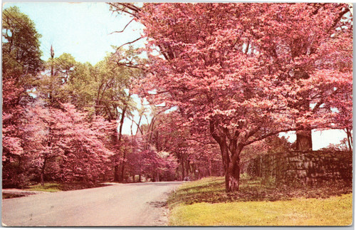 maryland cherry blossoms