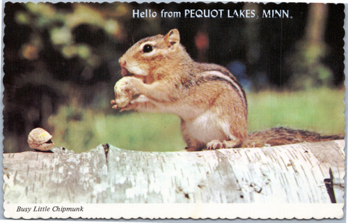 Pequot Lakes Chipmunk eating peanut