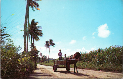 Horse and Cart in Sugar Cane fields in St. Croix