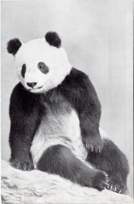 Giant Panda Su-Lin