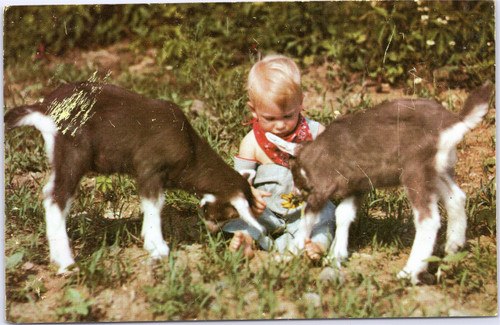 toddler with goats
