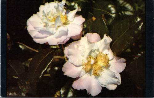 Bellingrath Gardens Camellia