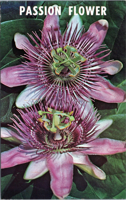Florida Passion flower